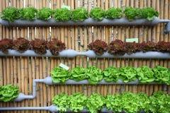 Verdura di insalata idroponica. Immagine Stock