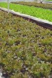 Verdura di insalata idroponica Immagine Stock Libera da Diritti