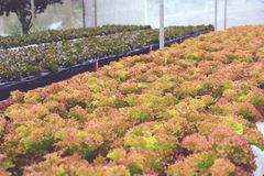 Verdura di insalata idroponica Fotografie Stock
