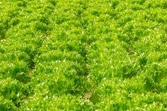 Verdura di insalata organica idroponica verde della lattuga Fotografie Stock Libere da Diritti