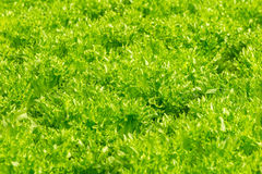 Verdura di insalata organica idroponica verde della lattuga Fotografie Stock