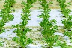 Verdura di insalata verde della quercia di coltura idroponica in piantagione Immagini Stock Libere da Diritti