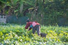Verdura di raccolto dell'agricoltore di mattina, Immagini Stock Libere da Diritti