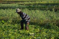 Verdura di raccolto dell'agricoltore di mattina, orto verde Fotografia Stock Libera da Diritti