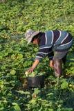 Verdura di raccolto dell'agricoltore di mattina, orto verde Immagine Stock Libera da Diritti