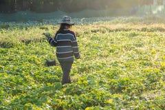 Verdura di raccolto dell'agricoltore di mattina, orto verde Fotografia Stock