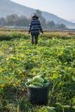 Verdura di raccolto dell'agricoltore di mattina, orto verde Fotografie Stock Libere da Diritti