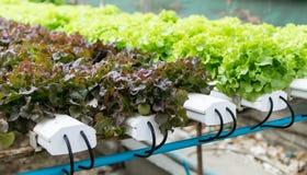 Verdura di verde di coltura idroponica di coltivazione in azienda agricola Immagine Stock Libera da Diritti