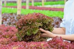 Verdura di verdure idroponica del corallo rosso dell'azienda agricola Fotografie Stock