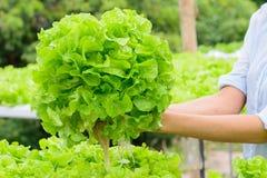 Verdura di verdure idroponica della quercia di verde dell'azienda agricola Fotografia Stock