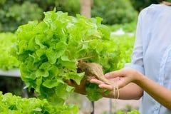 Verdura di verdure idroponica della quercia di verde dell'azienda agricola Fotografia Stock Libera da Diritti
