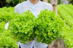 Verdura di verdure idroponica della quercia di verde dell'azienda agricola Immagine Stock