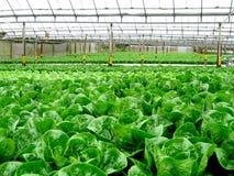 Verdura fresca all'azienda agricola idroponica Immagini Stock Libere da Diritti