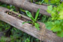 Verdura fresca che pianta nel bambù, alimento biologico per salute Fotografie Stock Libere da Diritti