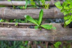 Verdura fresca che pianta nel bambù, alimento biologico per salute Immagine Stock Libera da Diritti