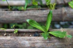 Verdura fresca che pianta nel bambù, alimento biologico per salute Fotografia Stock