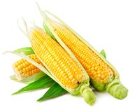 Verdura fresca del cereale con i fogli verdi immagini stock libere da diritti