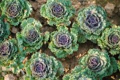 Verdura fresca nell'inverno immagini stock