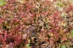 Verdura fresca rossa organica a terreno coltivabile Immagine Stock
