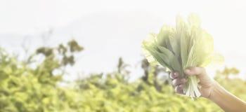 Verdura fresca verde organica della lattuga della tenuta della mano del ` s dell'agricoltore Fotografia Stock