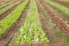 Verdura fresca verde organica nella riga Fotografia Stock