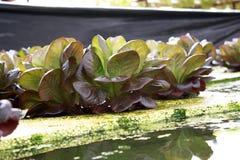 Verdura, hidrocultivo Foto de archivo