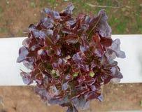 Verdura, hidrocultivo Fotos de archivo