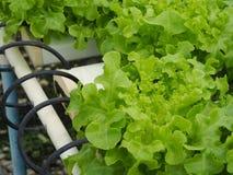 Verdura hidropónica en la granja Imagen de archivo libre de regalías