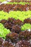 Verdura idroponica. fotografie stock libere da diritti
