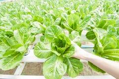 Verdura idroponica Fotografia Stock