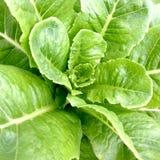 Verdura idroponica: Cos (primo piano) Fotografia Stock Libera da Diritti