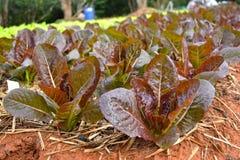 Verdura idroponica della lattuga rossa di Batavia Immagini Stock