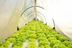 Verdura idroponica, lattuga di foglia della quercia Immagine Stock Libera da Diritti