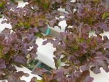 Verdura idroponica nell'azienda agricola Fotografia Stock Libera da Diritti