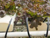Verdura idroponica nell'azienda agricola Fotografie Stock Libere da Diritti