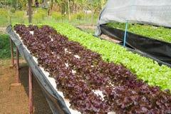 Verdura idroponica organica Immagini Stock Libere da Diritti