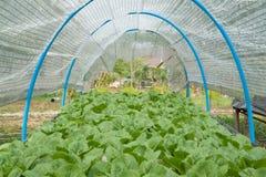Verdura idroponica organica Immagine Stock