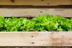 Verdura - lechuga de hoja verde ascendente cercana en la bandeja de madera Fotografía de archivo