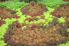 Verdura orgánica de la ensalada ornamental colorida en granja, roble rojo del roble verde fresco, coral rojo, buttavia rojo, e ic imágenes de archivo libres de regalías