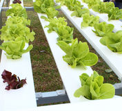Verdura orgánica fresca Fotografía de archivo libre de regalías