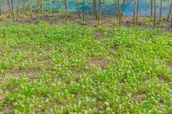 Verdura organica Fotografia Stock Libera da Diritti