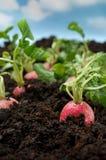 Verdura organica del ravanello Fotografia Stock