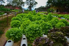 Verdura organica di verde di coltura idroponica della pianta Immagine Stock