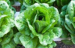 Verdura organica fresca Fotografia Stock