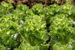 Verdura organica fresca nel campo di verdure idroponico Pianta lo spirito Fotografie Stock