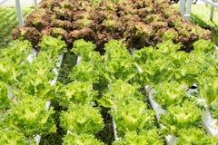 Verdura organica fresca nel campo di verdure idroponico Pianta lo spirito Immagini Stock