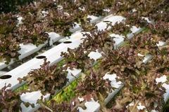Verdura organica fresca nel campo di verdure idroponico Pianta lo spirito Fotografia Stock Libera da Diritti