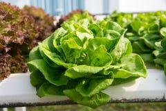 Verdura organica fresca nel campo di verdure idroponico Pianta lo spirito Immagini Stock Libere da Diritti