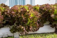 Verdura organica fresca nel campo di verdure idroponico Pianta lo spirito Immagine Stock Libera da Diritti