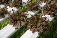 Verdura organica fresca nel campo di verdure idroponico Pianta lo spirito Fotografia Stock